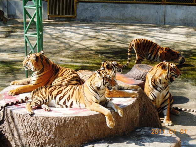 Bored Tigers Yawning Away